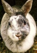 cesa - rabbit