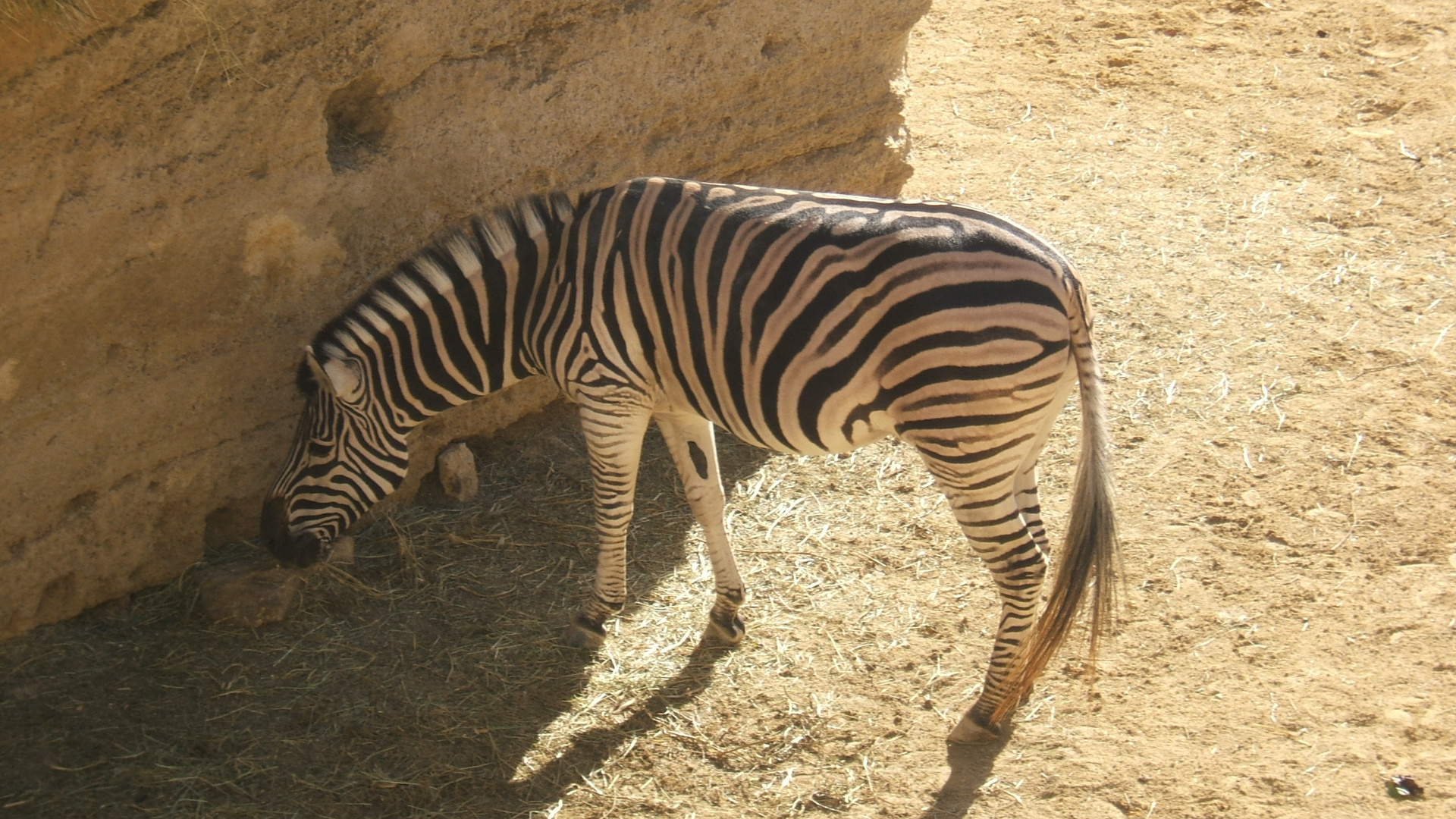 C'est beau un zebre