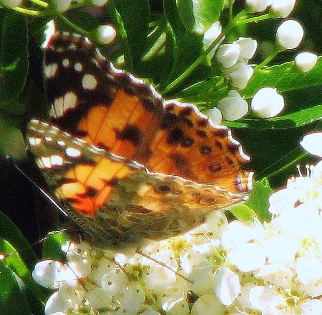 C'est enfin le temps des papillons...