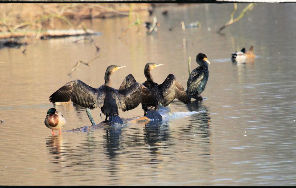 c'est la danse des cormorans.........