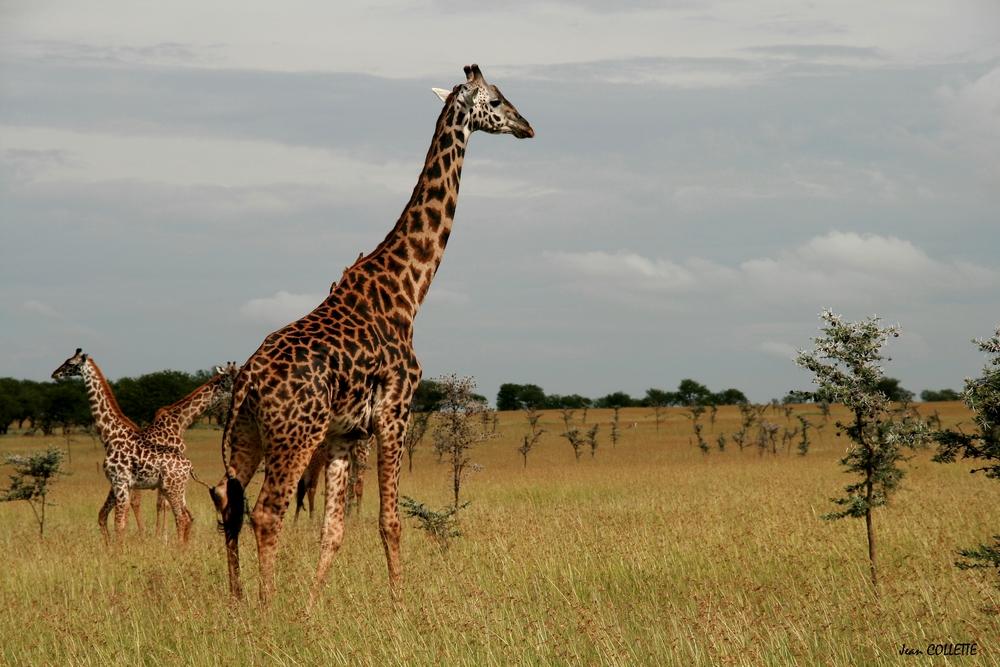C 39 est moi la plus grande de la savane africaine photo et - Animaux savane africaine ...