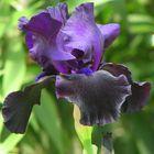 C'est un iris que je vois pour la première fois