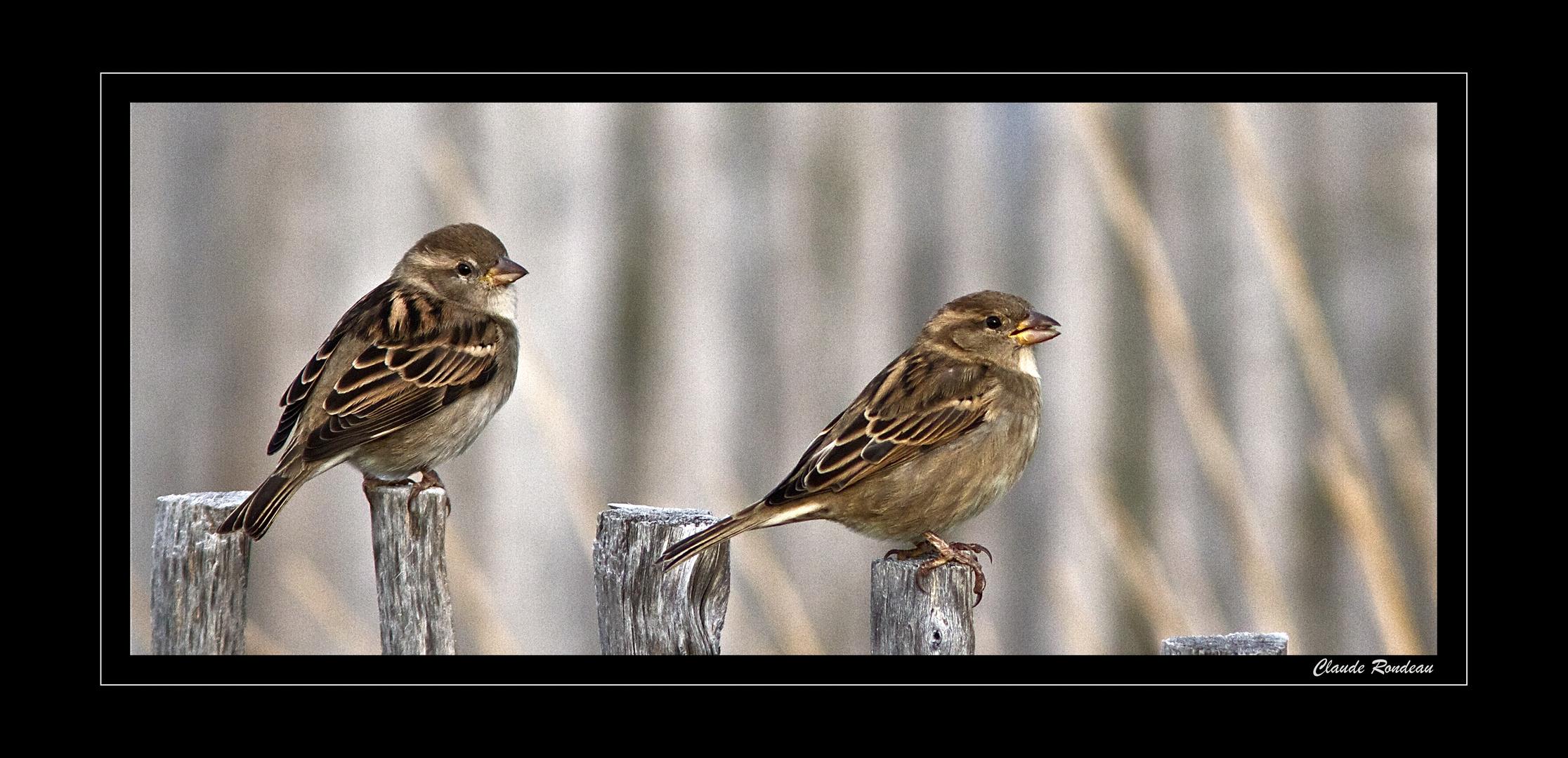 Cet oiseau commun tant délaissé par les photographes!