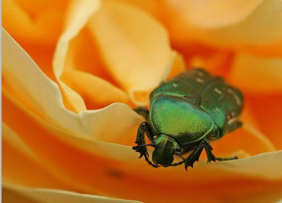cétoine doré dans une rose