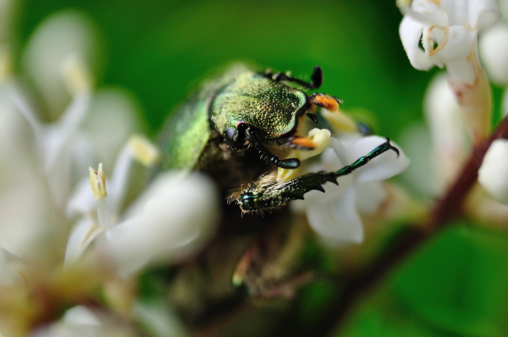 Cetonia carthami (Escarabajo verde metálico)