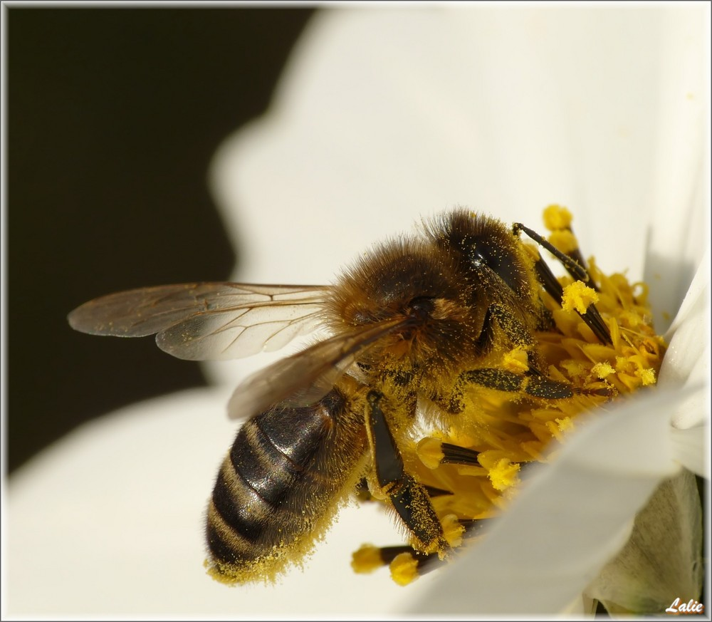 Cette petite abeille porte le nom de...