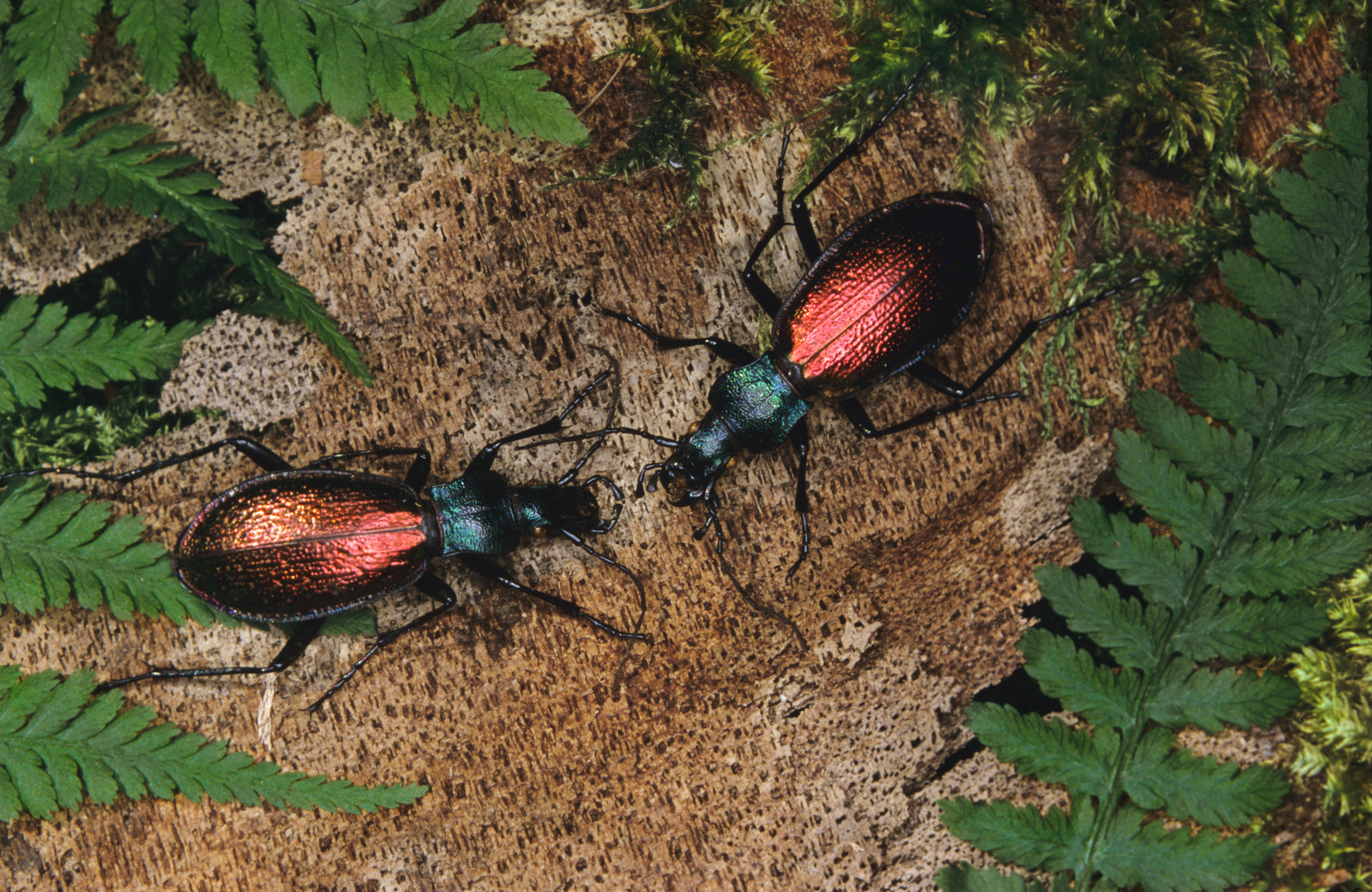 Cevennen-Laufkäfer, Carabus hispanus, ground beetle, Loopkevers