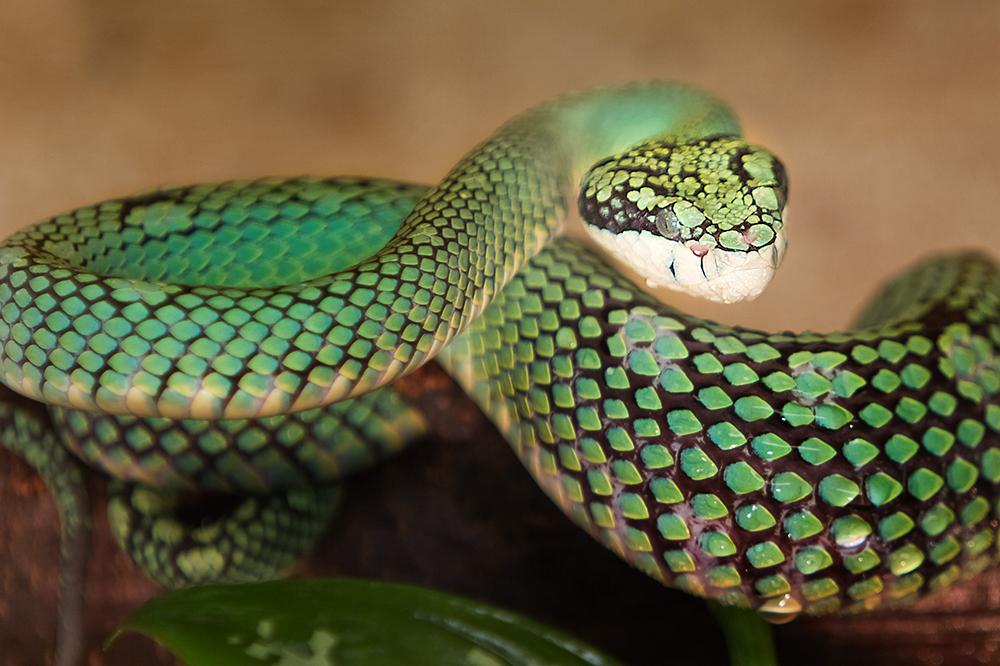 Ceylon Lanzenotter