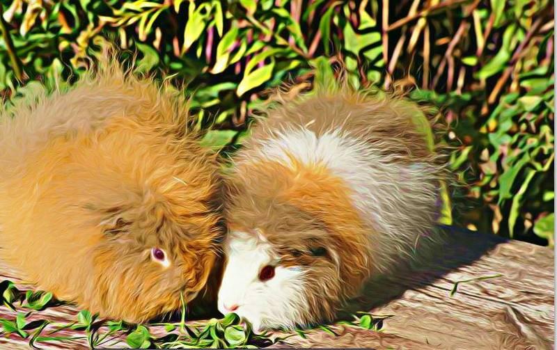 CH-Teddy Meerschweinchen