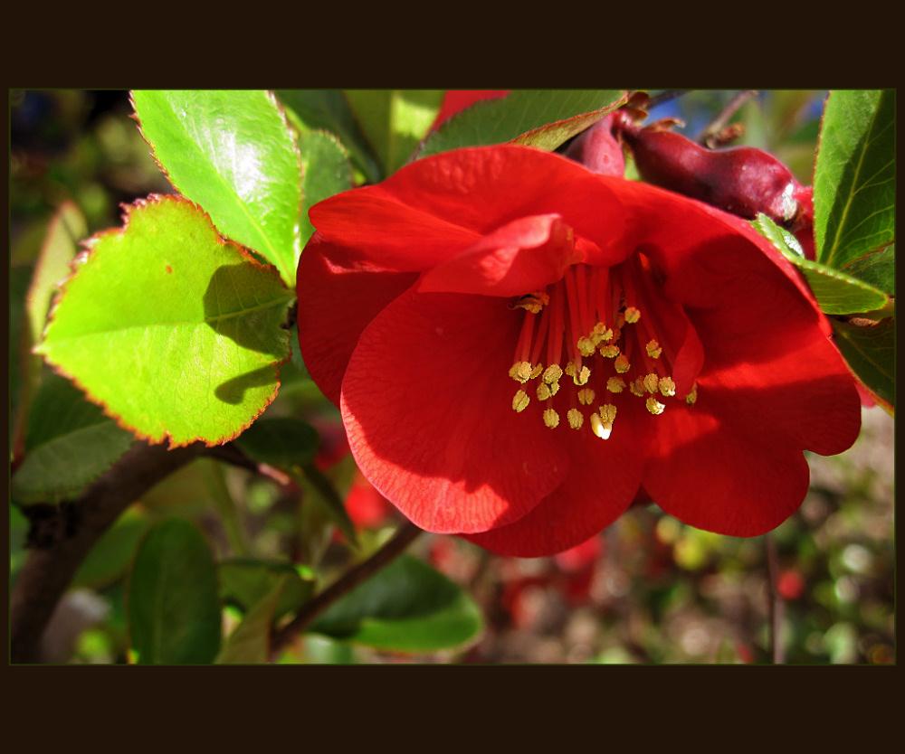 Chaenomeles japonica flower