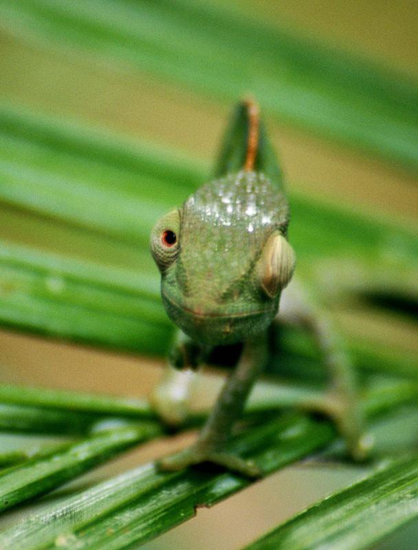 Chamäleon (Madagaskar)