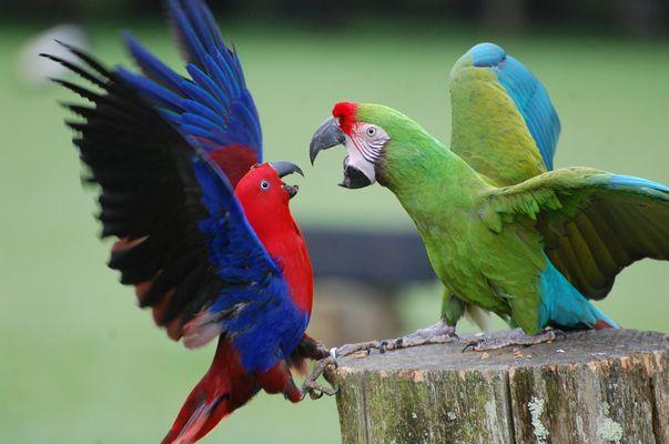 chamaillerie de perroquet