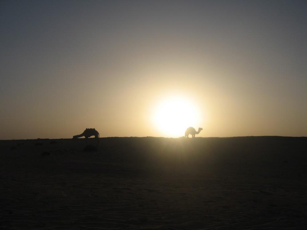 chameaux de Timimoun