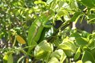 Chameleon aus Kapstadt - Südafrika