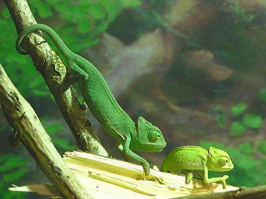 - Chameleon-Babys -