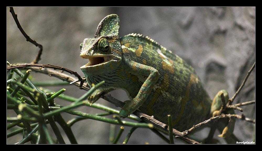 chameleon caliptratus