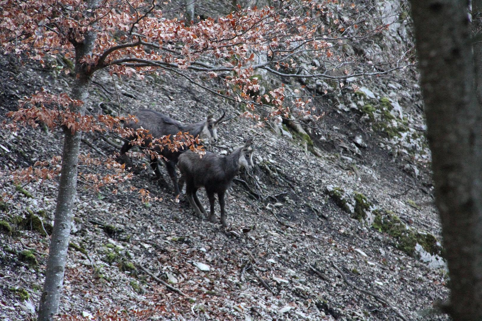 Chamois dans la forêt de Rochefort Neuchâtel
