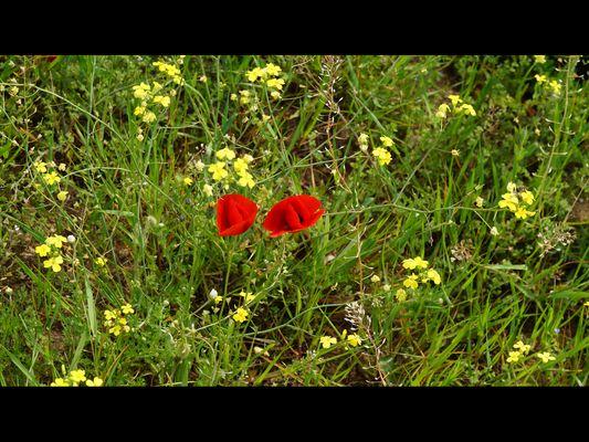 champ de fleur de choux sauvage