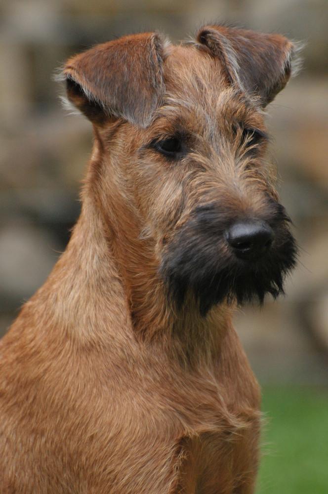 Champ - Irish Terrier -