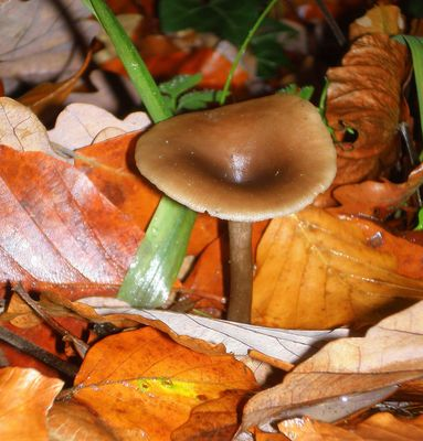 champignon (trompette)