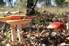 champignons du Pinchonvalles