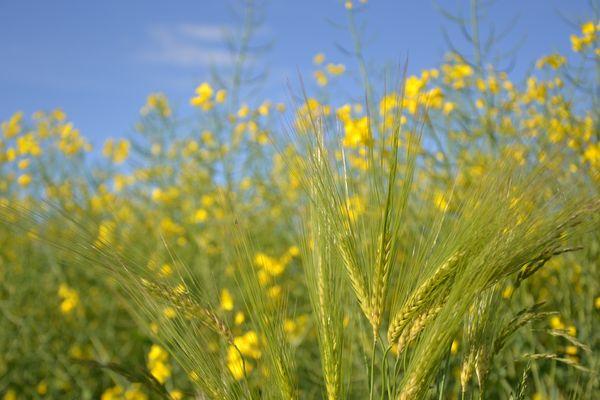 Champs de colza, brin de blé