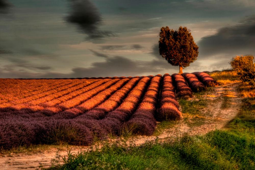 Champs de lavande, Lavendelfeld