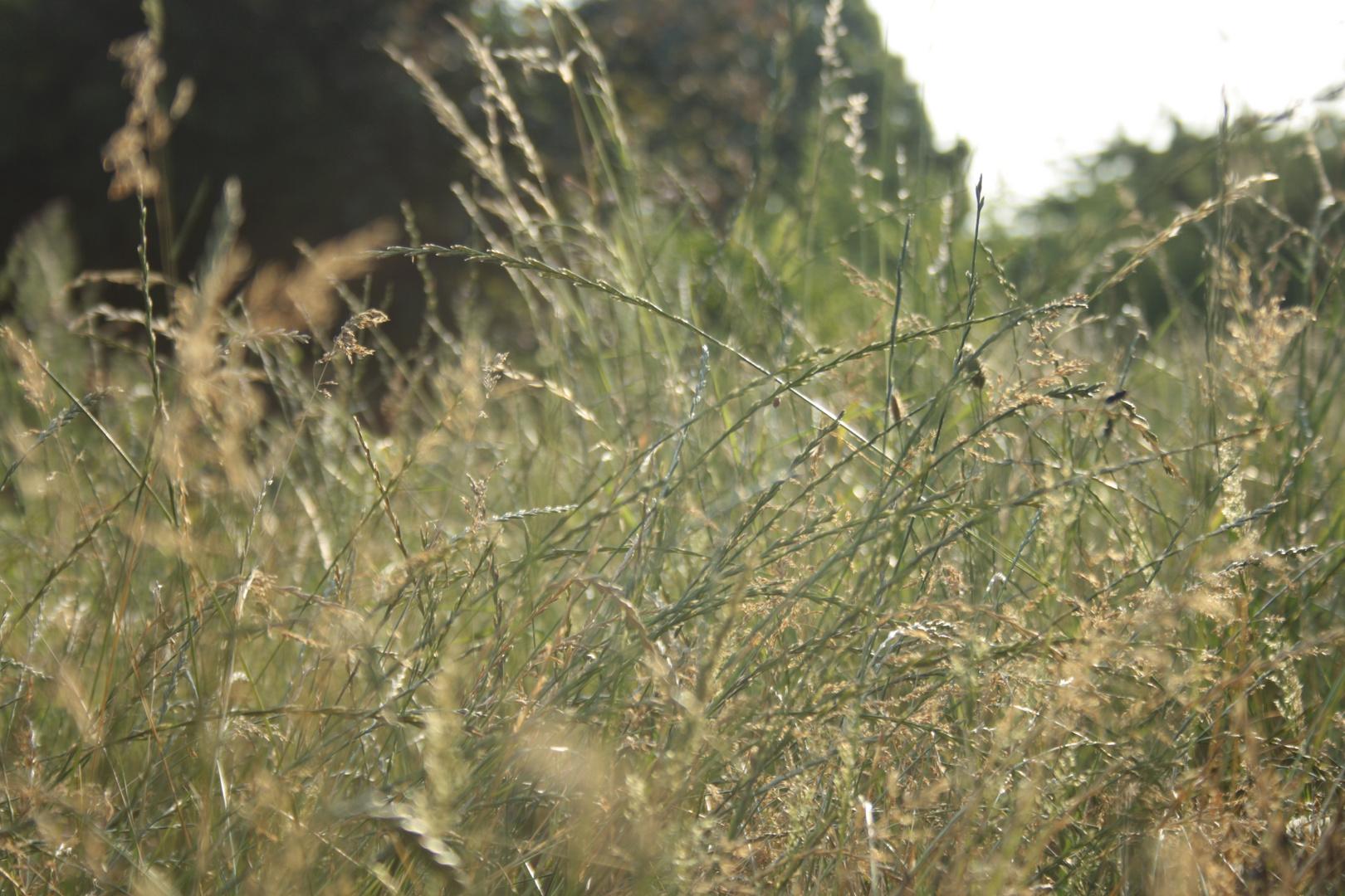 champs d'été