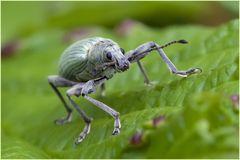 Charançon (Phyllobius urticae) 2