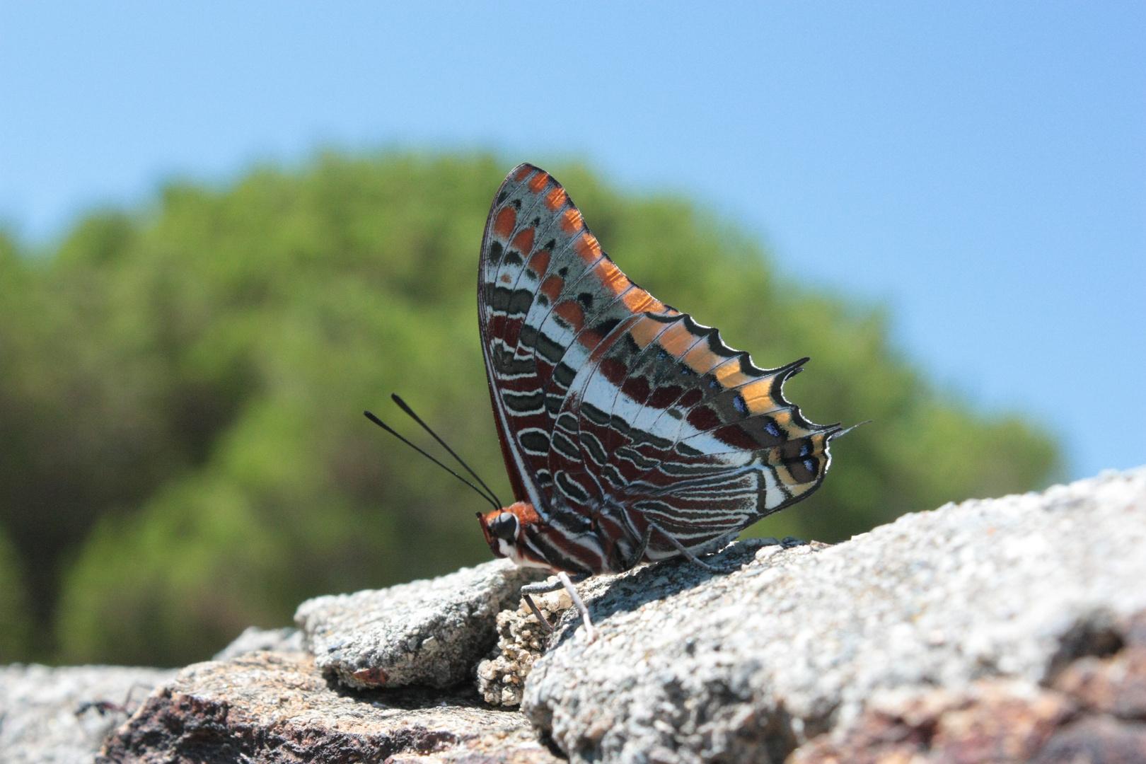 Charaxes jasius (Pacha a deux queues)