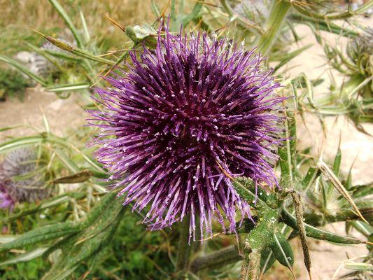 Chardo fleuri