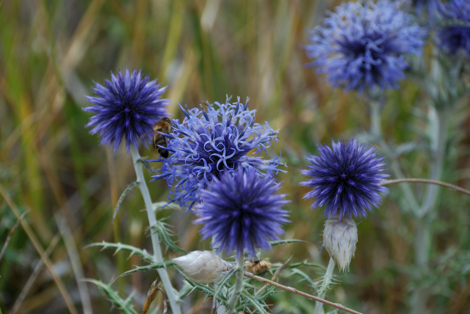 chardon bleu de Provence