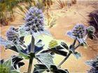 Chardon bleu des sables, symbole de ma terre
