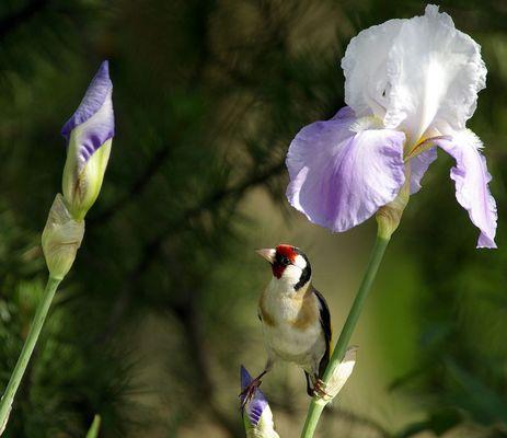 Chardonneret dans les iris