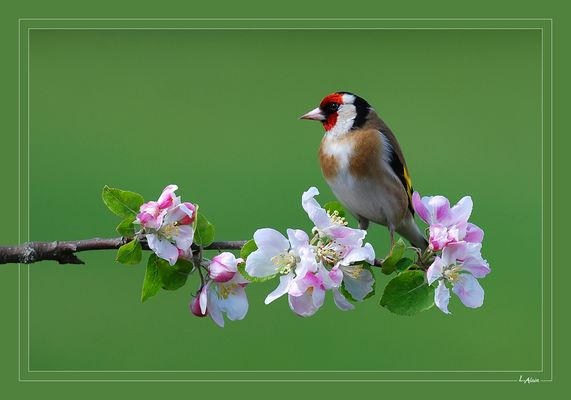 Chardonneret / Fleurs de pommier