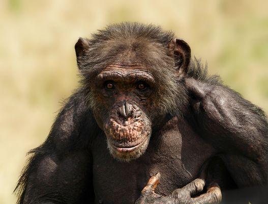 Charles - Schimpanse (Pan troglodytes)