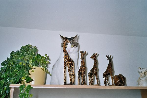 Charlie bei den Giraffen