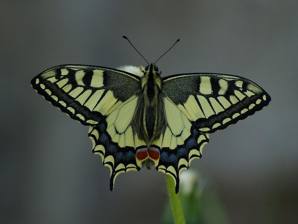 charme nature-Papilio machaon