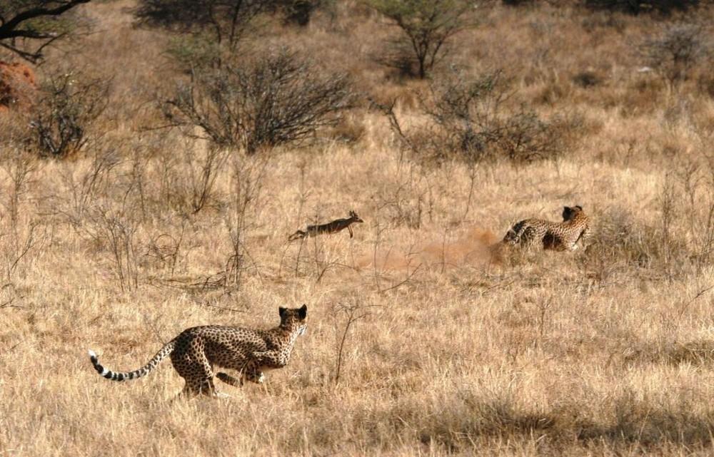 Chasse de guépards (Cheetah hunting) - Samburu / Kenya