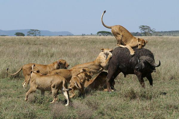 Chasse des lions 3