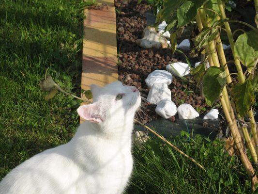 chat blanc regarde en l'air
