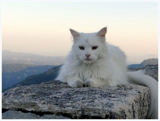 Chat blanc sur les remparts