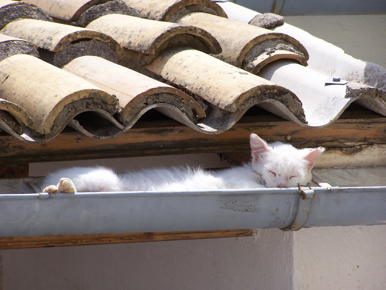 Chat de gouttières