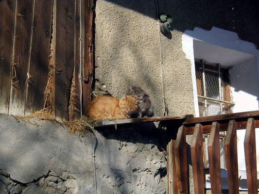 chat du corbier