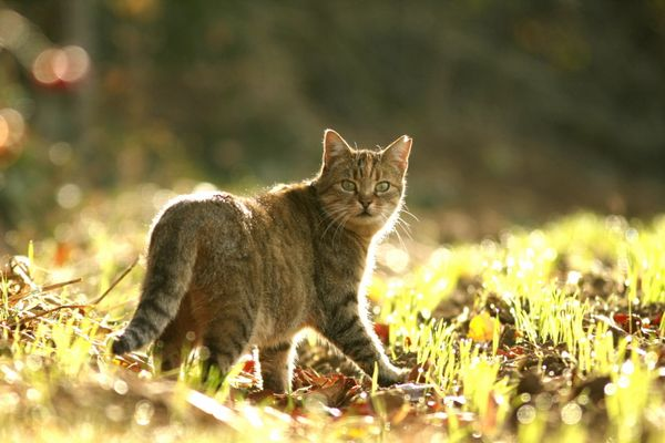 chat forestier?