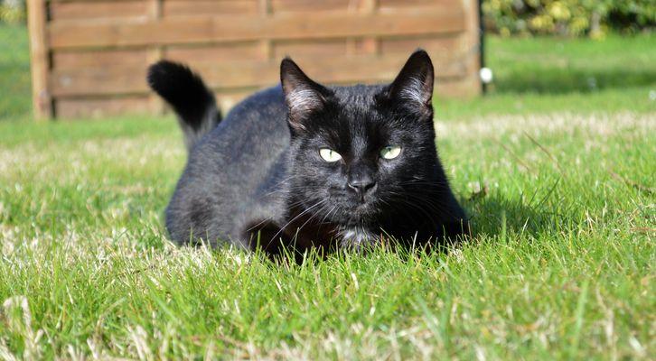 Chat noir - Dans l'herbe