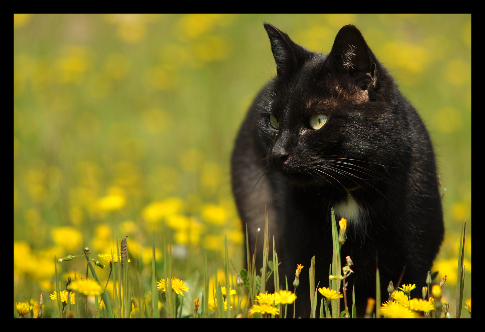 Chat noir et champ de fleurs