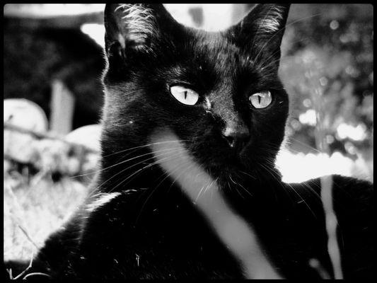Chat - panthère