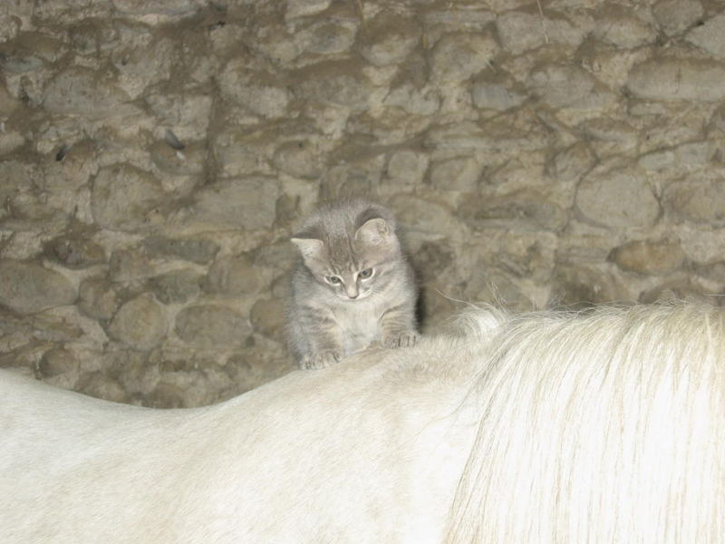 Chaton sur Poney