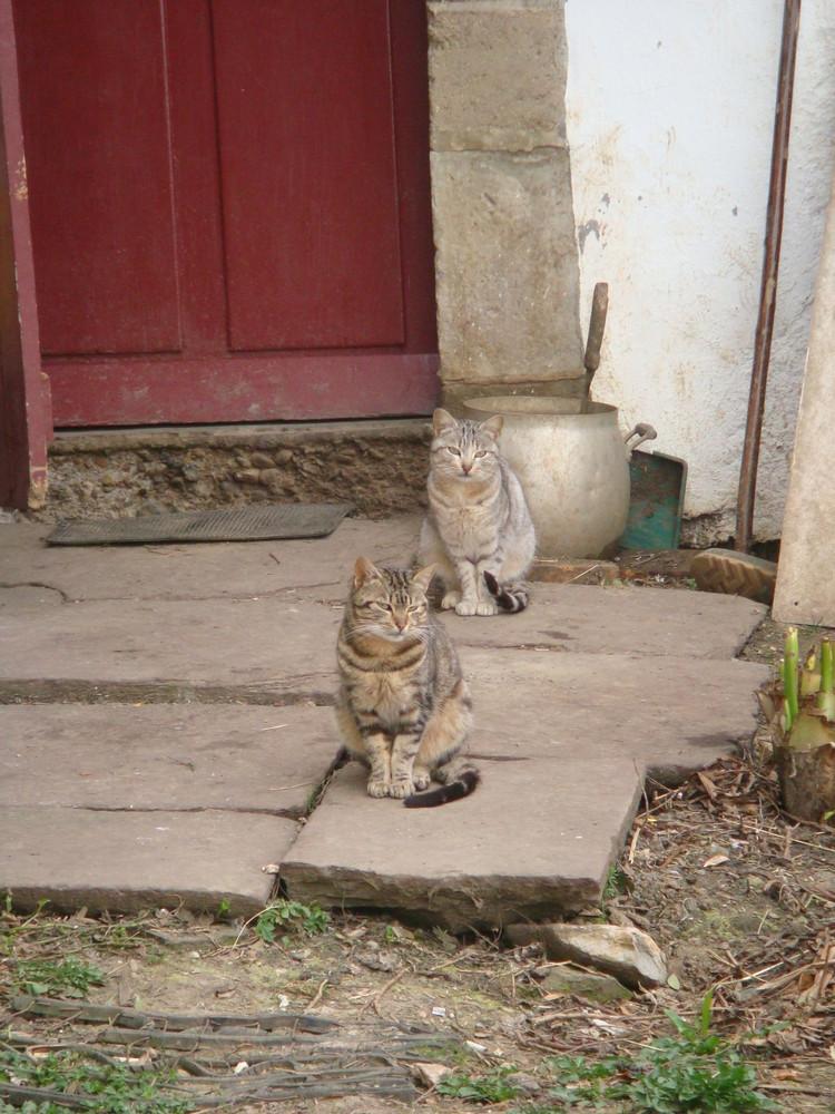 chats de ferme en montagne